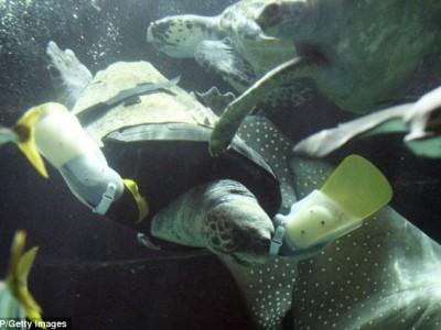 Морская черепаха Ю в аквариуме Аквалайф Парка