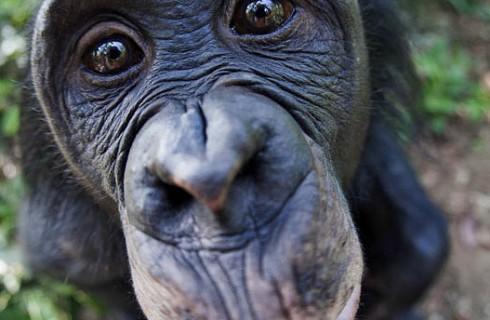 Бонобо похожи поведением на детей-сирот