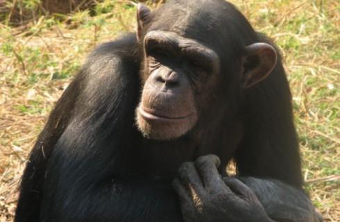 Социальные шимпанзе