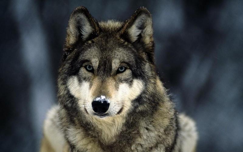 Названа дата одомашнивания волков