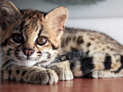 Кошка-онцилла
