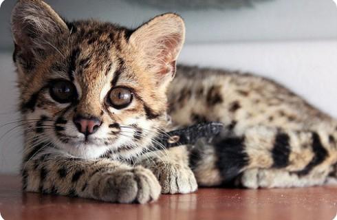 Кошки-онциллы оказались не так просты