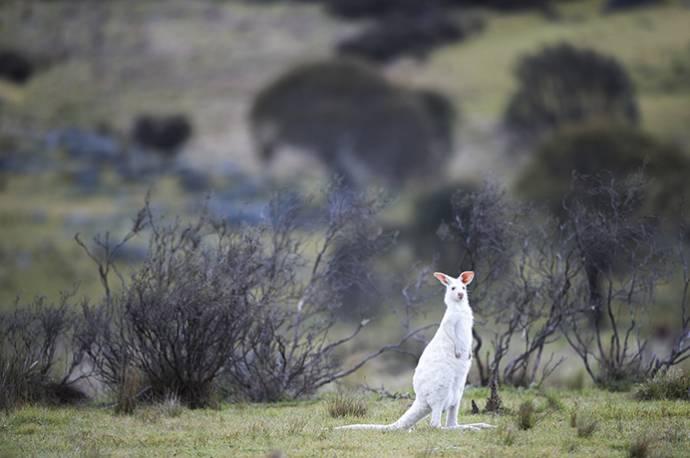 Кенгуру-альбиноса обнаружили в Австралии