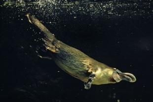 В Австралии когда-то жил гигантский утконос