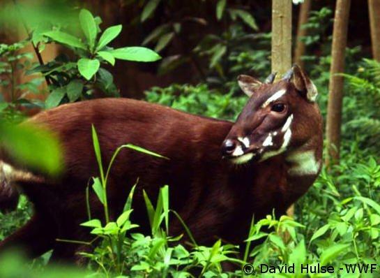 Редкого быка обнаружили во Вьетнаме