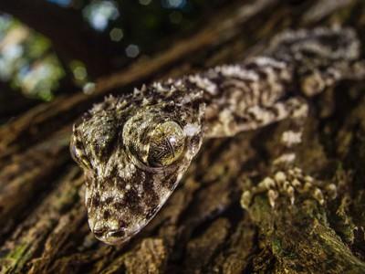 20-сантиметровый гекон Saltuaris Eximus