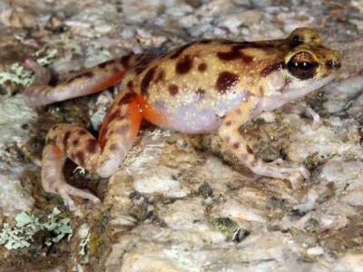 Лягушка Cophixalus petrophilus
