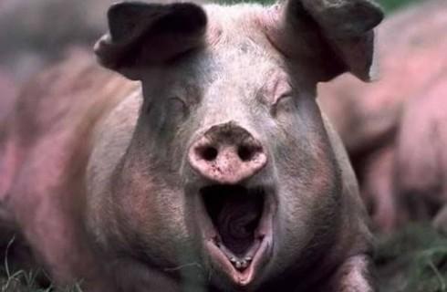 Объявлена война свиньям нелегалам
