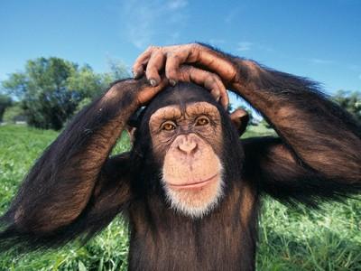 Шимпанзе продается за орехи