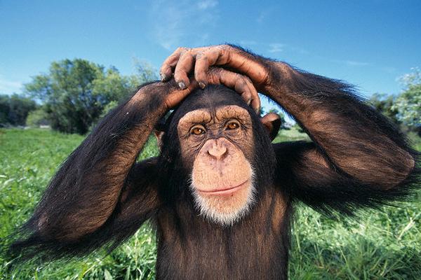 Шимпанзе продаются за орехи