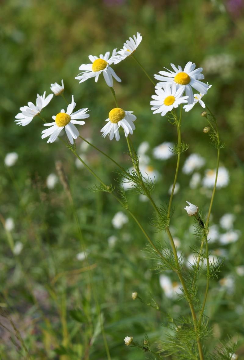 Травы для очистки организма