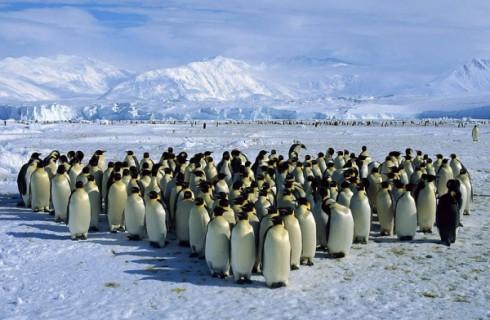 Тайна групповых объятий пингвинов