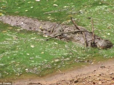 Аллигатор охотится, используя приманку из веток