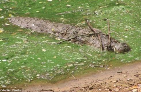 Аллигаторы используют ветки для охоты на птиц