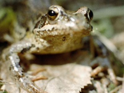 Лягушка раньше помогала определить беременность