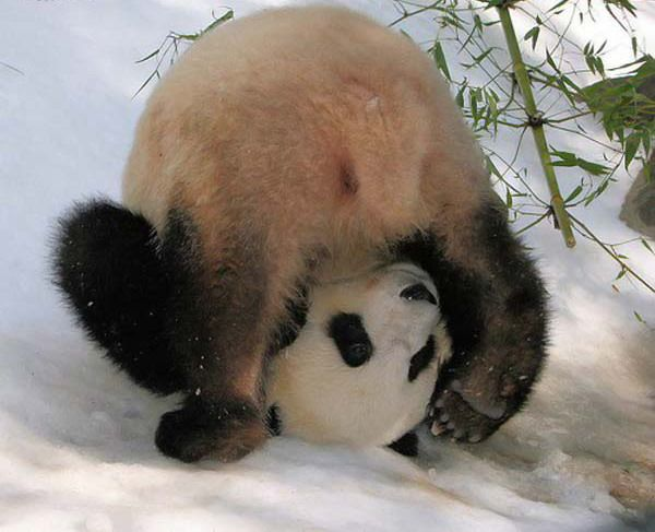 Поблагодарим науку за сохранение панд