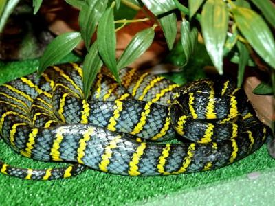 Филиппинская мангровая змея