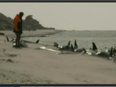 Черные дельфины в Новой Зеландии
