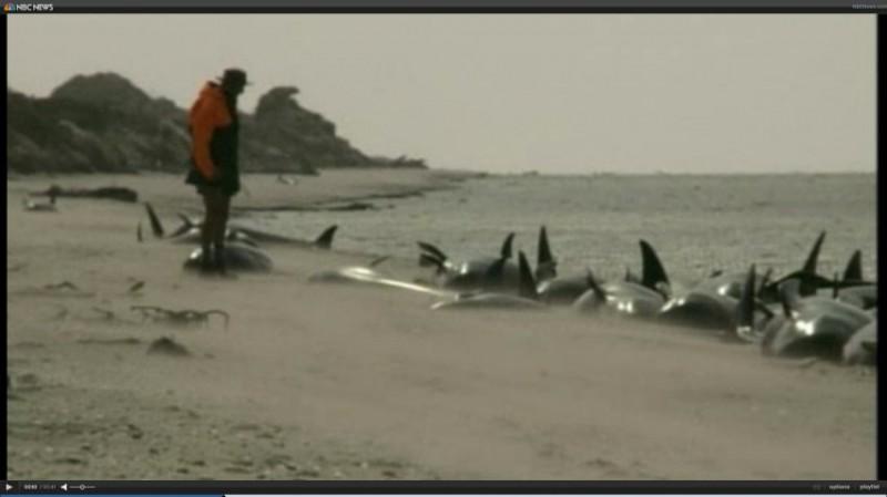 В Новой Зеландии спасли черных дельфинов