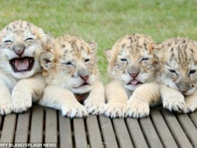 Четыре белых лигра