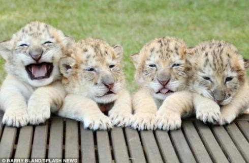 Впервые в мире родились четыре белых лигра