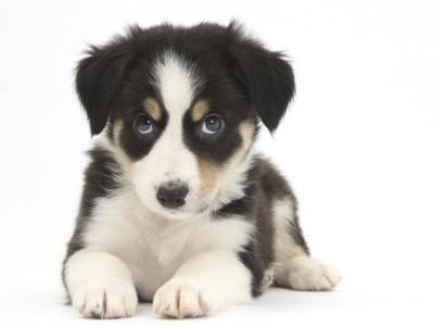 Собаки-манипуляторы