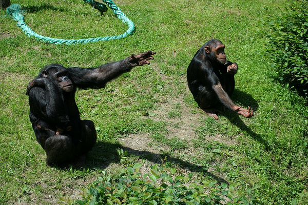 Шимпанзе активно используют жесты