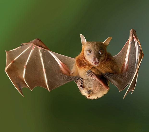 Британская летучая мышь совершила невероятное путешествие