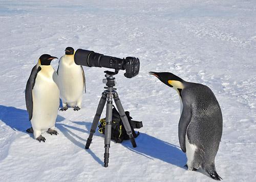 Пингвины оказались очень настойчивыми