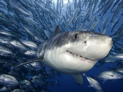 Белая акула в естественной среде