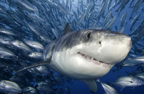 Большие белые акулы живут дольше, чем предполагалось