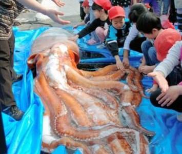 Гигантский кальмар, выловленный в Японском море