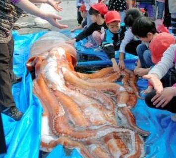 В Японском море обнаружены гигантские кальмары