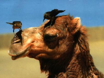 Первые верблюды