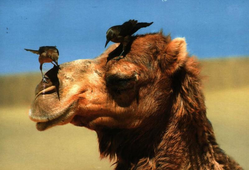 Верблюды стали яблоком раздора