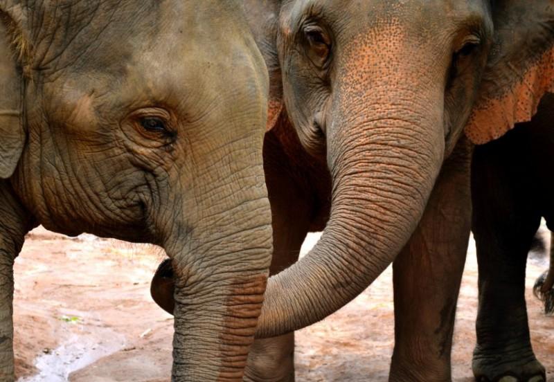 Уникальные жесты слонов