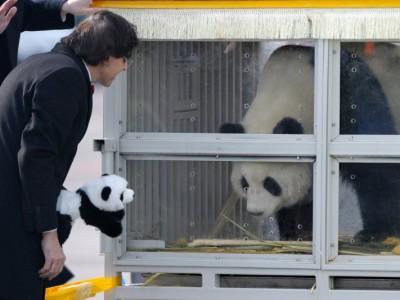 Панда в Бельгии