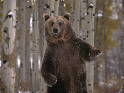 Бурых и белых медведей мало что связывает