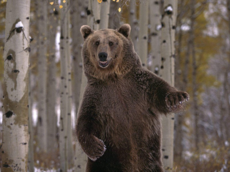 Медведи оказались настоящими завоевателями