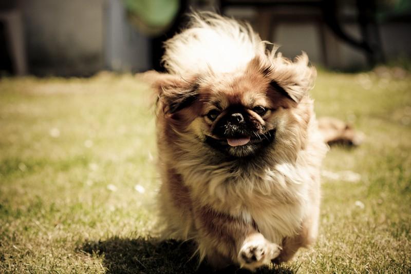 Форум пекинесов для любителей этих собак