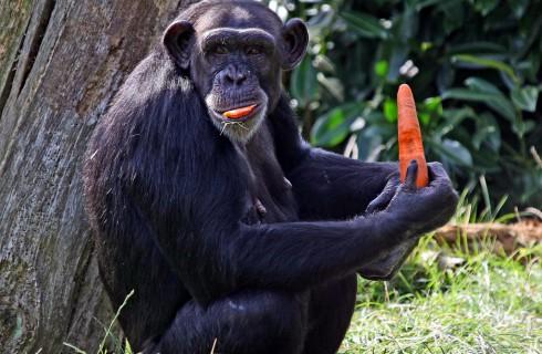 Настольный человек спасет животных от опытов