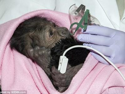 Первые минуты жизни новорожденной гориллы