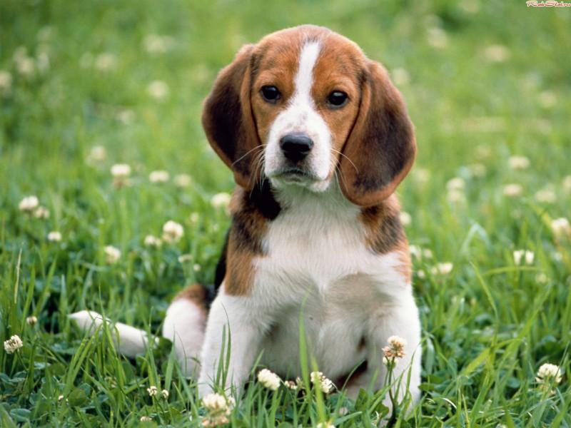 Бережем собаку от  пироплазмоза