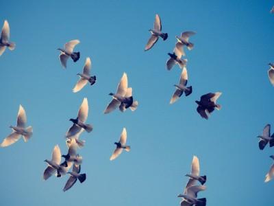 Спасение голубей