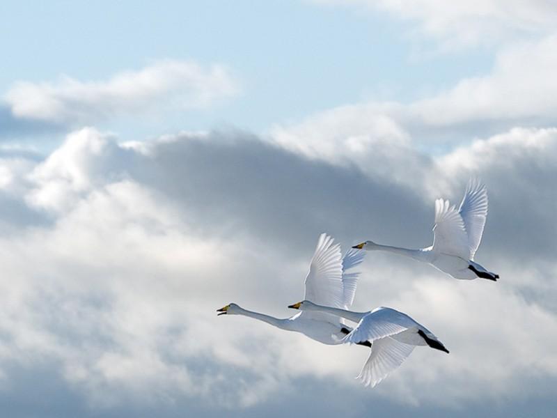 Инфаркты унесут птицы