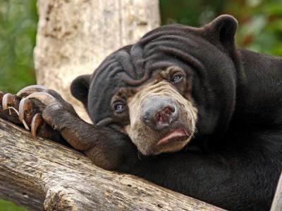 Млекопитающие Индии: Медведь-губач