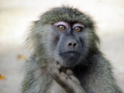Органы животных могут быть пересажены человеку