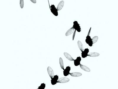 Полет плодовой мушки