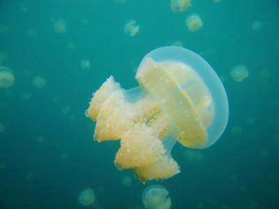 Регенерация у медуз находится на высоком уровне