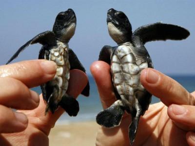Турецкие головастые морские черепахи
